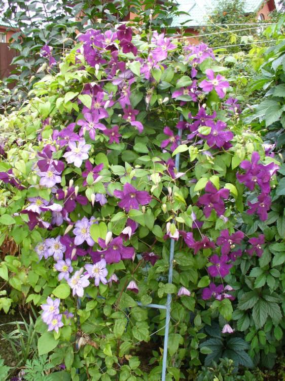 Цветы мужегоны в картинках 3